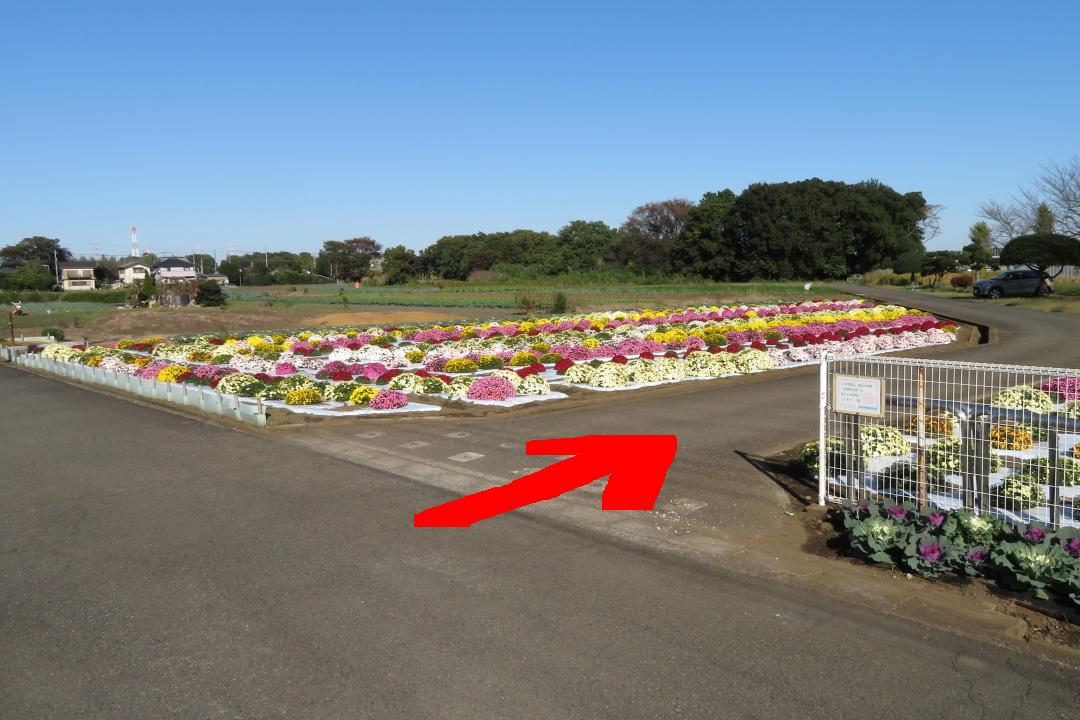 20201105本郷荘前のざる菊写真1枚目