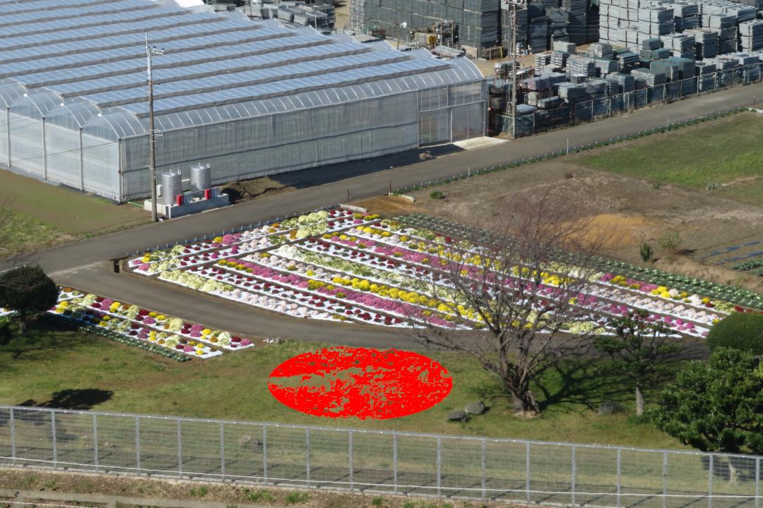 20201105本郷荘前のざる菊写真2枚目